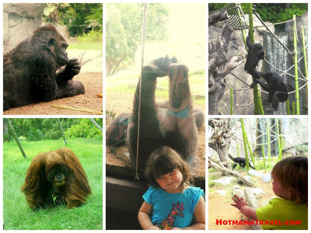 Gorillas, Orangutans & Chimps at Zoo & Safari Park