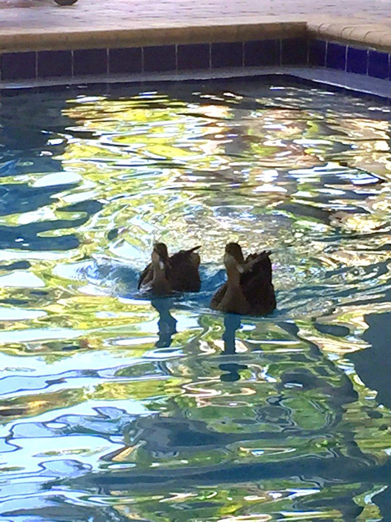 Ducks in the pool