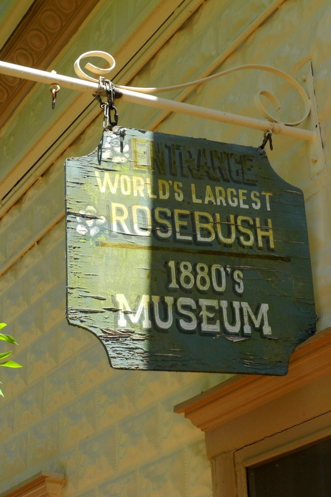 Worlds largest rose bush in tombstone